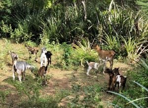 Dumas Goat Project Goats