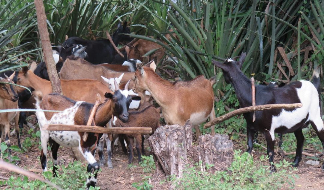 Dumas Goat Project Evaluation